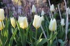 Molti tulipani bianchi nel giardino Fotografie Stock Libere da Diritti