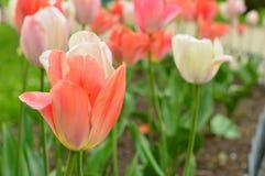 Molti tulipani che sbocciano in un bello parco Fotografia Stock