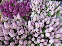 Molti tulipani porpora e malva Fotografia Stock Libera da Diritti