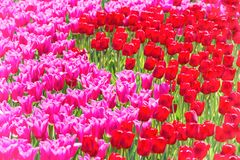Molti tulipani rosa Fotografia Stock