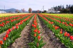 Molti tulipani rossi sopra cielo blu Fotografie Stock