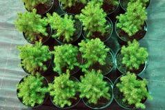 Molti vasi neri con suolo e piantine delle conifere Fotografia Stock