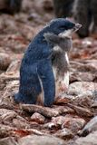 Adelie penguin chick in a colony in Antarctica Royalty Free Stock Photo