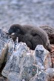 Adelie penguin chick in a colony in Antarctica Stock Images