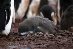Adelie penguin chick in a colony in Antarctica Stock Photo