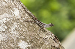 Molting Brown Anole lizard. Close up of Brown Anole lizard at tree trunk Royalty Free Stock Photo