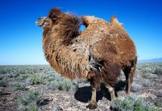 Molting brown bactrian camel Royalty Free Stock Photography