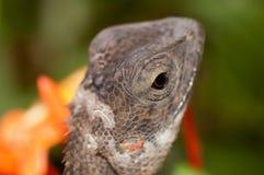 Molting chameleon Royalty Free Stock Photo