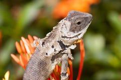 Molting chameleon Stock Image