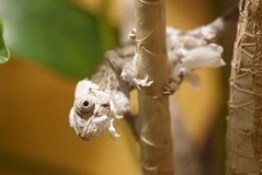 Molting chameleon Stock Photography