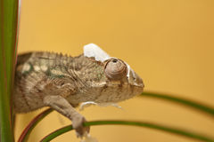 Molting chameleon Royalty Free Stock Images