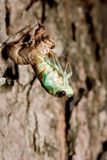 Molting Cicada. A cicada molting from the nymphs stage Royalty Free Stock Images