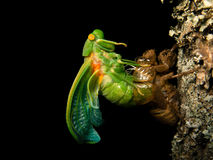 Molting Cicada. In black background Royalty Free Stock Images