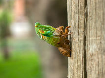 Molting Cicada Royalty Free Stock Images