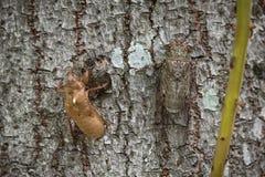 Molting cicada Stock Image
