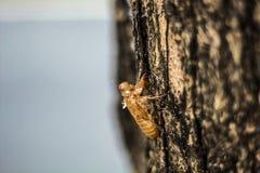Molting cykada na drzewie, cykada molting obrazy stock