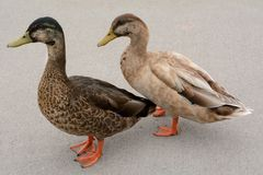 Molting duck plumage Royalty Free Stock Photography