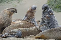 Molting elephant seals,big sur, california Royalty Free Stock Photo