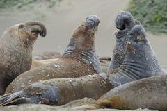Molting elephant seals,big sur, california Royalty Free Stock Photo