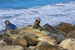 Molting Elephant Seals Stock Photo