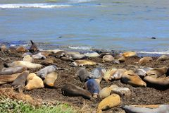 Free Molting Female And Juvenile Elephant Seals, Ano Nuevo State Park, California Stock Photography - 136745352