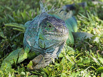 Molting Green Iguana in Grass Royalty Free Stock Photos