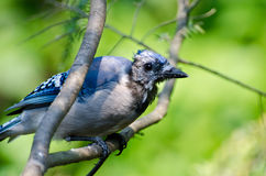 Molting Immature Blue Jay Royalty Free Stock Photography