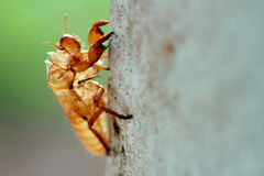 Molting insects on trees Royalty Free Stock Image