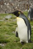 A Molting King Penguin Walking in Profile. A molting king penguin with some brown down at the top of its head. Shallow depth of field royalty free stock images