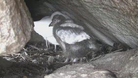 Molting kurczątko i żeński śnieżny sheathbill omijanie wśród skał blisko gniazdeczka zbiory