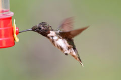 Molting Male Ruby-throated Hummingbird Stock Image