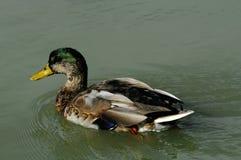 Molting Mallard Duck Drake Royalty Free Stock Photography