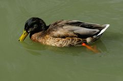 Molting Mallard Duck Drake Stock Images