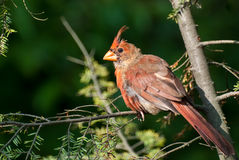 Molting Northern Cardinal Royalty Free Stock Photography