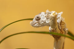 Molting Panther chameleon baby Stock Photo
