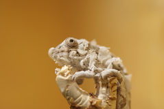 Molting Panther chameleon baby Royalty Free Stock Photos