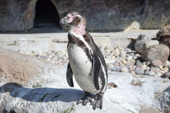 Molting penguin Στοκ εικόνες με δικαίωμα ελεύθερης χρήσης