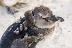 Molting penguin. Cape Town, South Africa. Detail around face stock photos