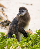 Molting Penguin Chick Stock Photo