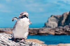 Molting Przyglądający się pingwin przy Kaikoura oceanem w tle, zdjęcia royalty free