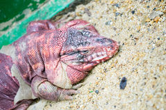 Molting reptile Stock Images