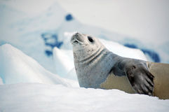Molting Sea Lion Royalty Free Stock Images