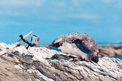 Molting Yellow-eyed Penguin and the camera at Kaikoura ocean in Royalty Free Stock Image
