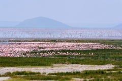 Moltitude der Flamingos Lizenzfreie Stockfotos