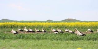 Moltitudine bianca di Storck nell'espansione Fotografia Stock Libera da Diritti