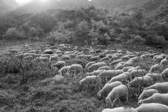Moltitudine compatta di pecore che camminano e che mangiano nel pascolo fotografia stock