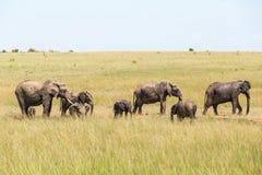 Moltitudine degli elefanti sulla savanna Fotografie Stock Libere da Diritti