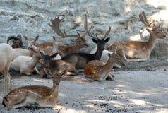 Moltitudine dei cervi nelle rocce Fotografia Stock Libera da Diritti