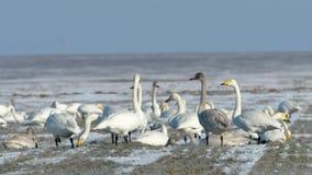 Moltitudine dei cigni selvatici su un campo con neve fresca Fotografia Stock