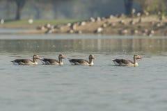 Moltitudine del anser del Anser dell'oca selvatica in lago fotografia stock